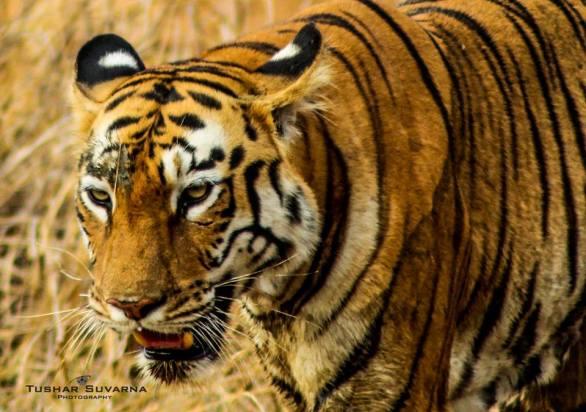 Tigress at Tadoba