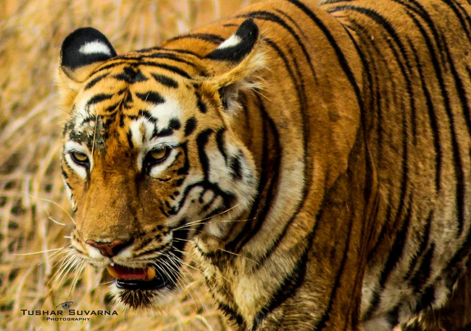 Tigress at Tadoba