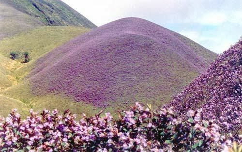 hills filled with neelakurinji